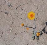 Desert Flower, Image credit: Wikimedia Commons