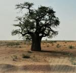Baobab tree in the outskirts of Al-Obaeid, North Kordofan, Sudan.Baobab tree in the outskirts of Al-Obaeid, North Kordofan, Sudan. Image credit: International IDEA International IDEA