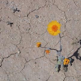 Desert Flower, Image credit: Wikimedia Commons